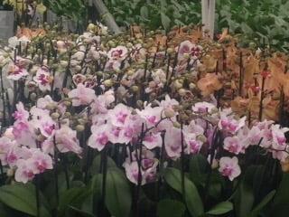 Dendrobium & Phalaenopsis Orchids