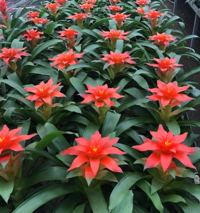 bromeliads-long-lasting-flowering-programs